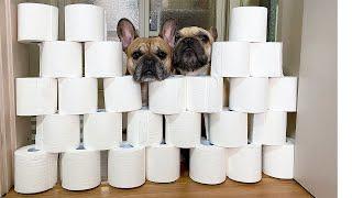 Toilet Paper Wall Challenge   FUNNY French Bulldog Reaction ~ 강아지 휴지벽 챌린지!