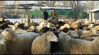«Сельские истории». Овцы