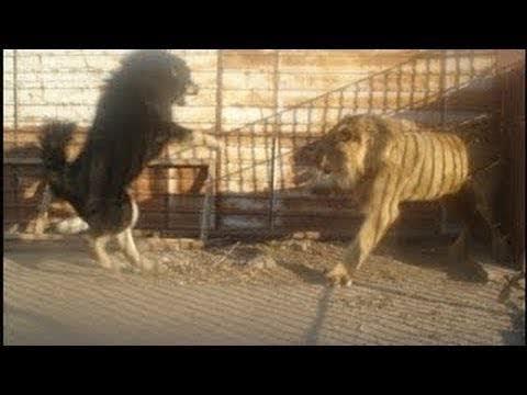 Когда собаки сталкиваются с дикими животными !!!