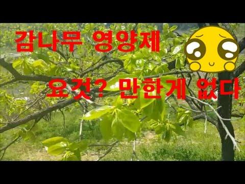 감나무 영양제 이거 하나면 끝