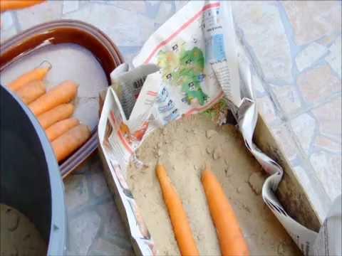 Karotten lagern sand