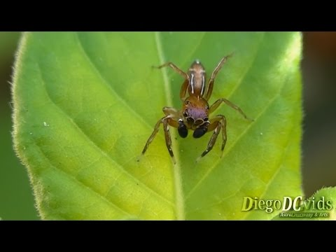 Ant mimicry characteristics - Jumping spider species ...