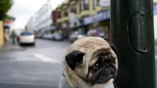 Почему собака гоняется за хвостом ? / Why is the dog chasing its tail ?