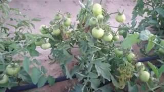 فيرس Y علي الطماطم  Potato virus Y