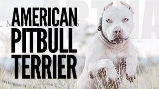 Der American Pitbull Terrier - Rasseportrait