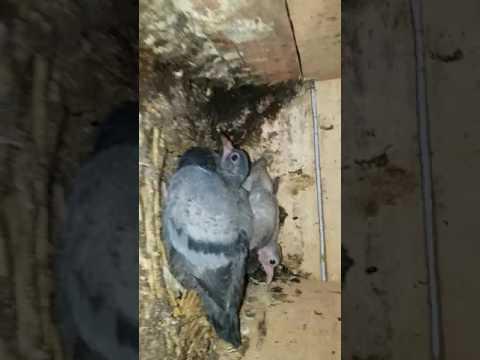 Madrasi And Punjabi All Pigeon Sale Abbas Meerut 9627867861