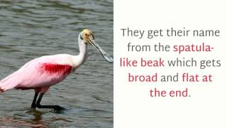 Video 18 Facinating Things You Should Know About Roseate Spoonbill download MP3, 3GP, MP4, WEBM, AVI, FLV Juli 2018