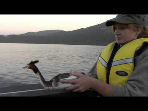 Department of Conservation staff save birds life, Lake Ianthe South Westland.