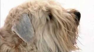 One of the best family dogs, the Soft Coated Wheaten Terrier was or...