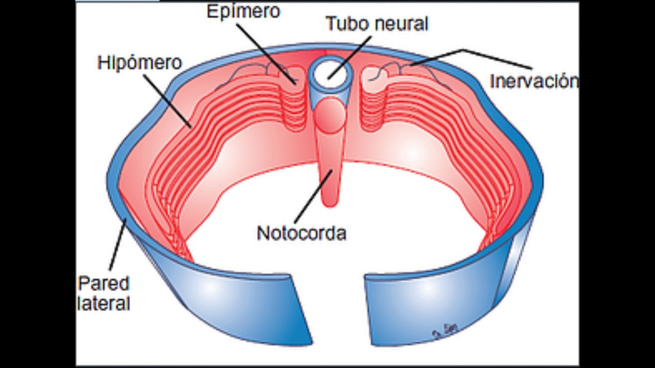 SISTEMA MUSCULAR DESARROLLO EMBRIOLOGICO - YouTube
