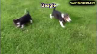 Beagle, Puppies, For, Sale, In, Allegheny, Pennsylvania, Pa, Bucks, Chester, County, Berks, Delaware