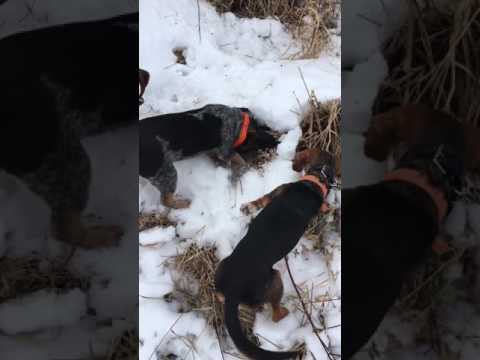 6 month Old Bluetick Beagle Getting His Rabbit
