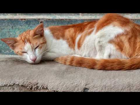 Arabian Mau,History  breed, Cat characteristics, Price, Description, Care and Healthy, Nutriti