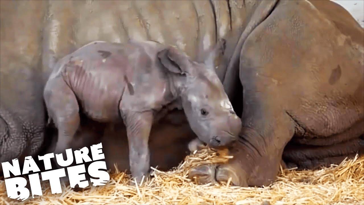 Download RARE Rhino Birth Caught on Film!   Amazing Animal Babies   Nature Bites