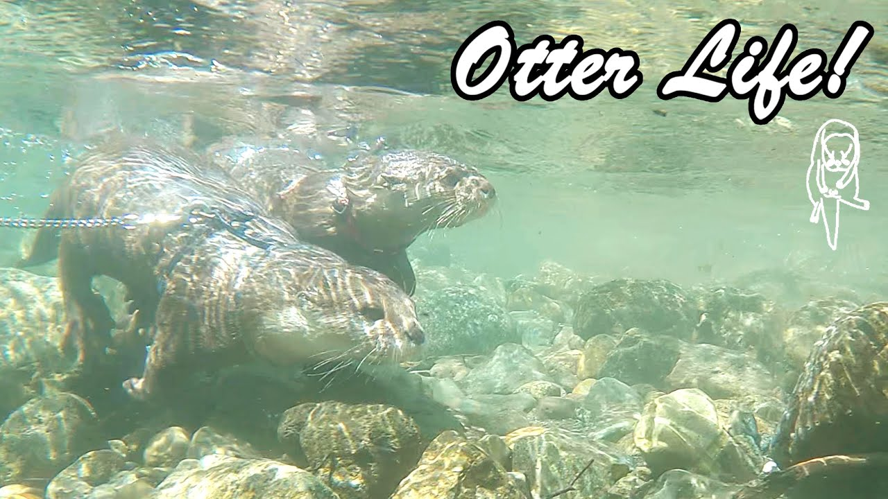Summer vacation for otters! Leisurely life of swimming, sleeping, and eating! [Otter life Day 580]