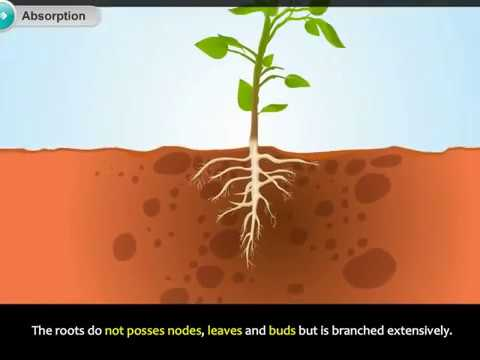 Absorption of Water By Plants