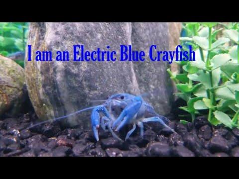 Electric Blue Crayfish | Facts On Crayfish | Crawfish