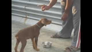 Doberman 2month Puppy Training