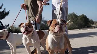 Bulldogs Americanos