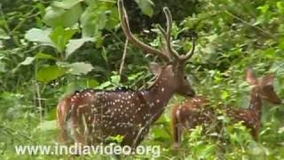 Deer, Cervidae, Sambar, Barking Deer, Chital, Spotted Deer, Forest, Video, Suresh Elamon