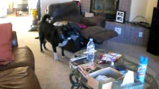 Ruger The Weimaraner, Remi The Vizsla, And Chance The Husky Playing.avi