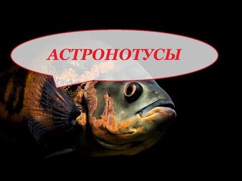Рыба Астронотус содержание кормление уход совместимость