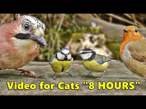 Cat Entertainment Videos : Video for Cats To Watch Birds : U