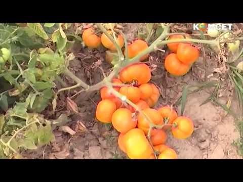 Новые сорта томатов для Подмосковья и Средней полосы | садоводства | выращивании | садоводам | описание | институт | томатов | посадке | сортов | советы | семена