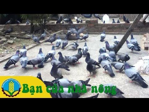 Mô hình chăm nuôi chim bồ câu pháp đạt hiệu quả kinh tế cao