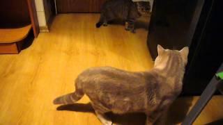 Шотландские котики. Вязка котов. Lucky Diamond