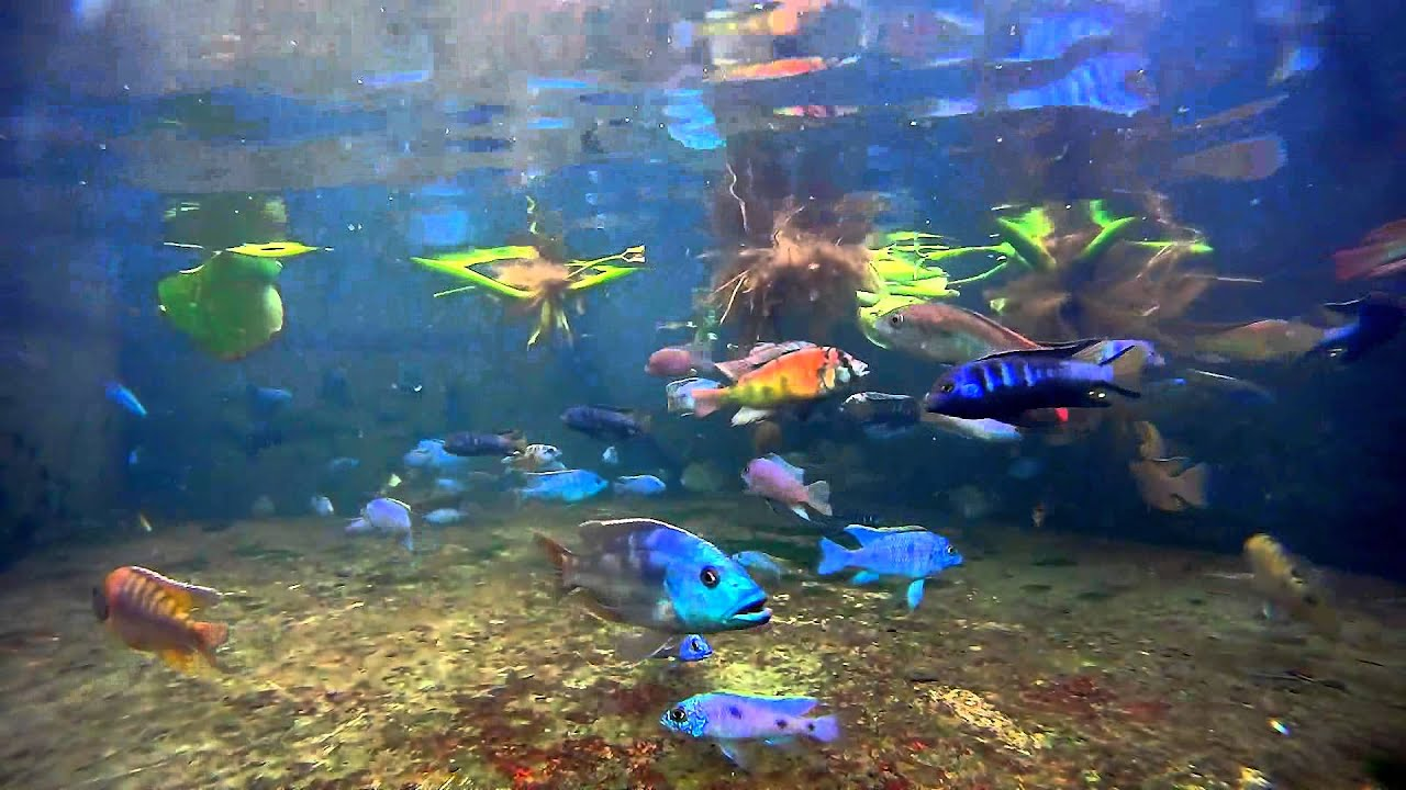 Mixed malawi cichlids (All fish for sale!) - YouTube