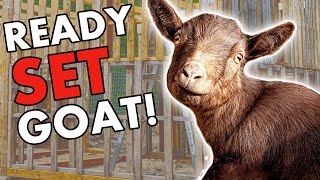 Why GOATS? Meet Our Tribe Of Nigerian Dwarf & Pygmy Goats   Why We Have Goats