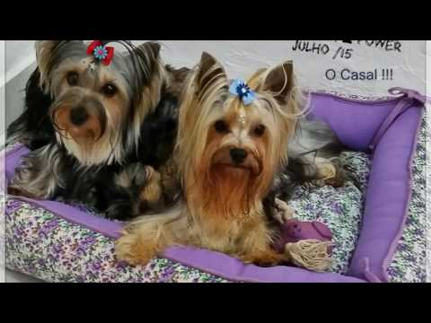 Filhotes Yorkshire  Terrier  Disponível 42 dias !! Canil Hall Of Angels Maio 2016