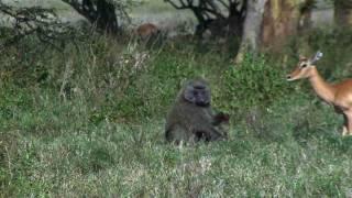 Baboon eating Baby Impala alive