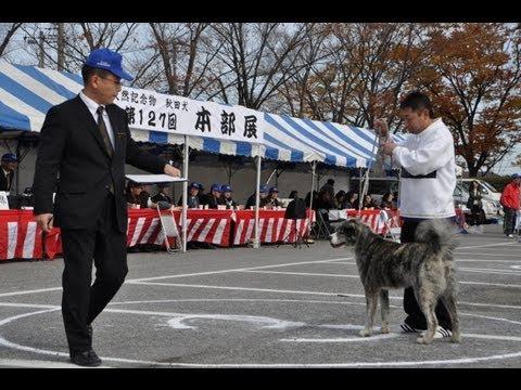 AKIHO No127 HONBUTEN SHOW 2012 akita-inu 平成24年第127回 (社)秋田犬保存会本部展