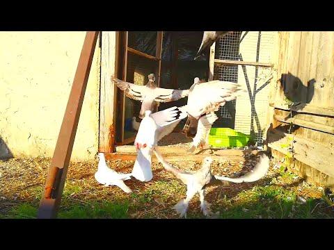 ( БОЙ СТОЛБОМ )Армянские ленинаканские бойные голуби Pigeons, Porumbei,