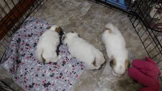 Coton Puppies For Sale - Hannah 1/29/21