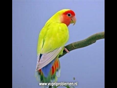 LOVE BIRDS ( MANY COLOURS)
