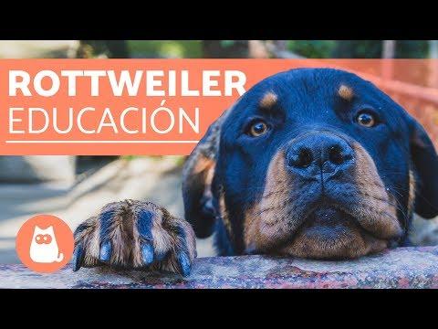 Cómo educar a un rottweiler