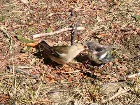 ein vogeljunges war aus dem nest gefallen youtube. Black Bedroom Furniture Sets. Home Design Ideas