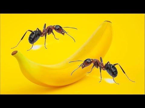 Was machen Ameisen 24 Stunden lang mit einer Banane? Zeitraf