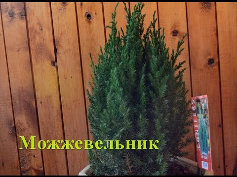 Можжевельник виргинский и его сорта на фото