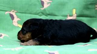 PADOGグループにてご紹介中!http://www.at-breeder.net/welsh_terrier/...