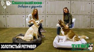 Хаски Флора TiTBiT - Собаки в нашей жизни: Интервью #0 (Золотистый Ретривер)