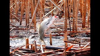Ловля КАРАСЯ на КИВОК Рыбалка в сухом камыше