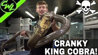 CRANKY KING COBRA GOES FOR THE KNEES!!!