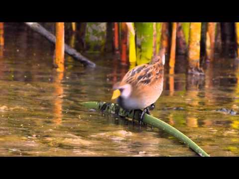 Sora and Virginia Rail: Cryptic Birds Of The Marsh