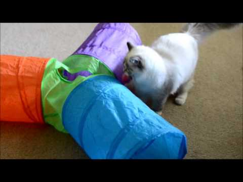 Ragdoll Kitty Having A Blast With Toys