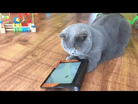 Coconut. Blue British Shorthair. Playing a Video Game.