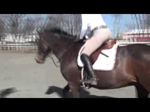 Caspian - Proven 3' horse for sale. Under saddle video